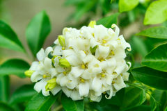 Orange Jessamine flowers. Stock Images