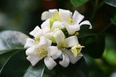 Orange Jessamine. Flowers in the garden thailand Royalty Free Stock Photos