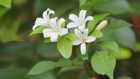Orange Jessamine flowers and green leaf