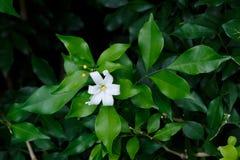 Orange Jessamine flowers, tropical flower. Royalty Free Stock Photo