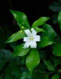 Orange Jessamine flowers, tropical flower. Stock Image