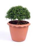Orange jessamine in jardiniere. Royalty Free Stock Image