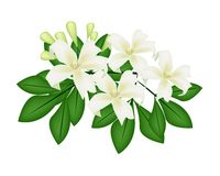Orange Jessamine or Mock Orange Flowers on White Background Royalty Free Stock Photography