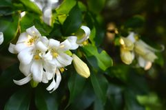 Orange jessamine Stock Image