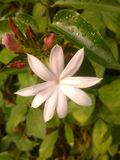 Jasmine,Jasminum auriculatum royalty free stock photography