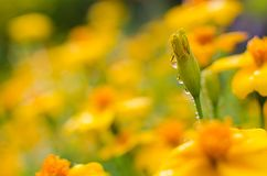 Orange juice flowers grow in the fresh air Stock Images