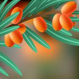 Orange, juicy, therapeutic sea-buckthorn on a branch for your design. Illustration Stock Photos