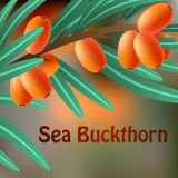 Orange, juicy, therapeutic sea-buckthorn on a branch for your design. Vector Stock Photos