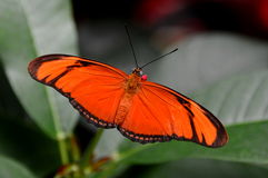 Orange Julia Butterfly,aka,Dryas iulia Stock Photography