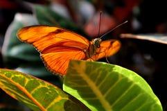 Orange Julia Butterfly,Dryas iulia Stock Image