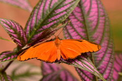 Orange Julia Butterfly Royalty Free Stock Photo