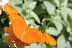 Orange Julia Butterfly. Orange butterfly resting on a pink flower with its wings spread stock photos