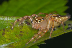 An orange jumping spider Stock Photo