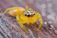 An orange jumping spider Stock Images