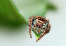 Orange jumping spider Royalty Free Stock Photo