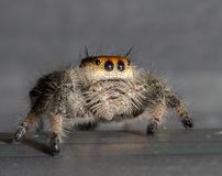 Orange Jumping Spider Macro Stock Images