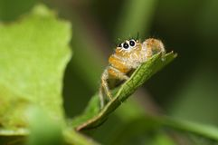 Orange jumping spider from South Africa. Small cheeky looking colorful jumping spider perched on a leaf Stock Photo