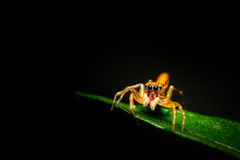 Orange Jumping Spider Stock Photo