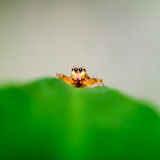 Orange Jumping Spider, up close, nature concept Royalty Free Stock Photo