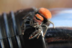 Orange Jumping Spider Stock Images