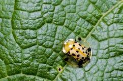 Orange Käfer auf grünem Blattmakro Stockfotografie