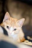 Orange Kätzchen, das Kamera betrachtet stockbild