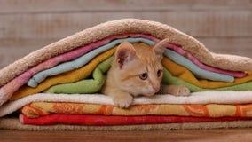 Orange Kätzchen der getigerten Katze genistet unter den Tüchern, die seine Umgebungen aufpassen stock video