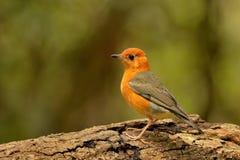 Orange-köpfige Drossel. Lizenzfreie Stockbilder