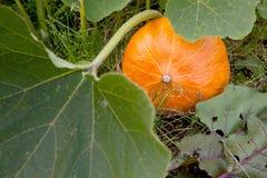 Orange Kürbis auf dem Gebiet Lizenzfreie Stockbilder