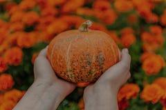Orange Kürbis in den Händen stockfotos