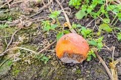 Orange Kürbis der Verrottung gelassen auf dem Feld Lizenzfreie Stockbilder