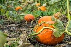 Orange Kürbis im Garten Lizenzfreie Stockfotos