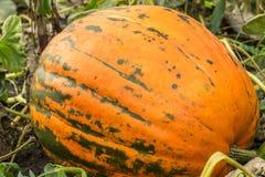Orange Kürbis im Garten Stockfoto