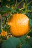 Orange Kürbis im Garten Stockfotografie