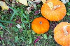 Orange Kürbise, die im Gemüsegarten wachsen lizenzfreies stockbild