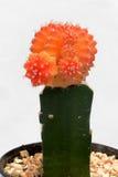 Orange kaktus i kruka Arkivfoto