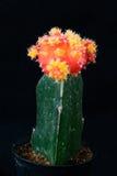 Orange kaktus i kruka Royaltyfri Fotografi
