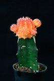 Orange kaktus i kruka Arkivfoton
