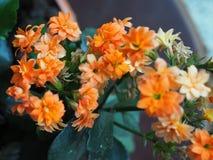 Orange kalanchoe blossfeldiana Blumen Stockfotografie
