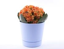 Orange kalanchoe Blume im Topf Lizenzfreies Stockfoto
