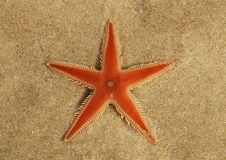 Orange Kamm Starfishüberblick auf Sand - Astropecten SP stockfotografie