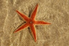 Orange Kamm Starfish unter wasser- Astropecten SP Lizenzfreies Stockfoto