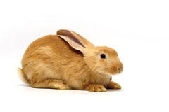 orange kanin Arkivfoton
