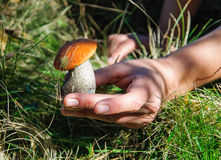 Orange-Kappenboletus Pilz in der Mannhand Stockbild