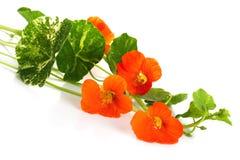 Orange Kapuzinerkäseblumen stockbild