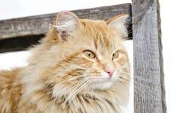 Orange katt Arkivfoton
