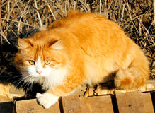 Orange katt Royaltyfri Bild