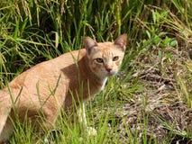 Orange katt Arkivfoto
