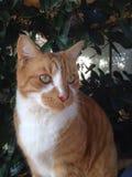 Orange katt Royaltyfria Foton