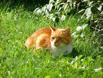 Orange katt i gräset Arkivfoto